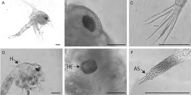 K anormalidades larvas